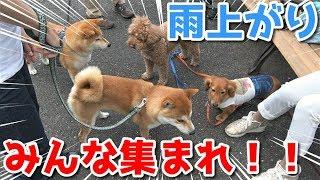 【京の柴犬】みんなに会いたくて、強行突破する柴犬てんちゃん(笑) 太郎の犬モノガタリ#135 thumbnail