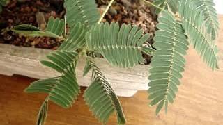 Pre Bonsai Mimosa Pudica Youtube