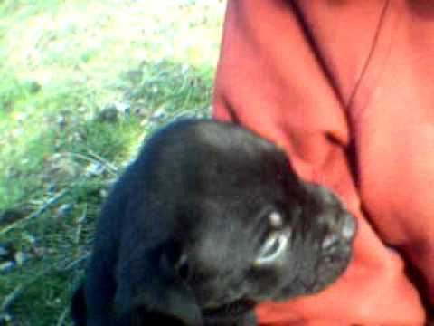 Rottweilerbulldog Chocolate Lab Mix Puppies Youtube
