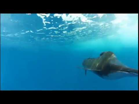 TOP 3 Fastest Fish In The Ocean!!They Swim So Fast!(sailfish/ Marlin)
