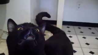 Черная говорящая кошка общается с хозяином. Это жесть!(, 2014-08-01T23:21:00.000Z)