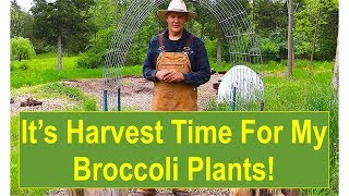 Early-Summer Garden Update 2016: It's Harvest Time for My Broccoli Plants!