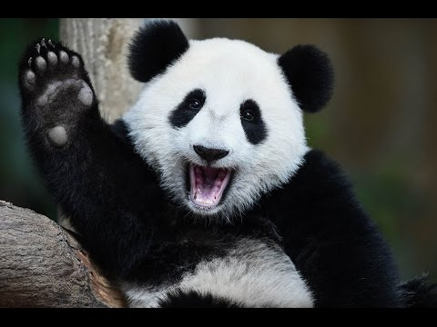 Giant Pandas - The Last Refuge (National Geographic)- Nature documentary (tv genre)