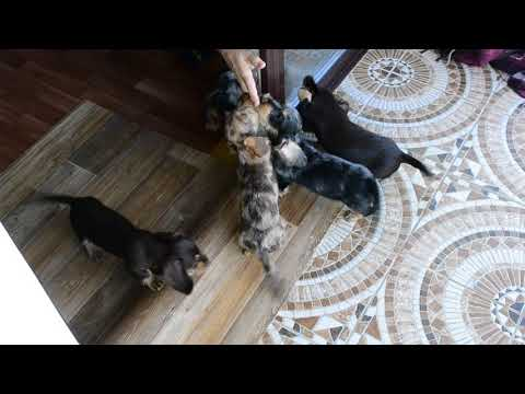 Wirehaired kaninchen/mini dapple dachshund's puppies