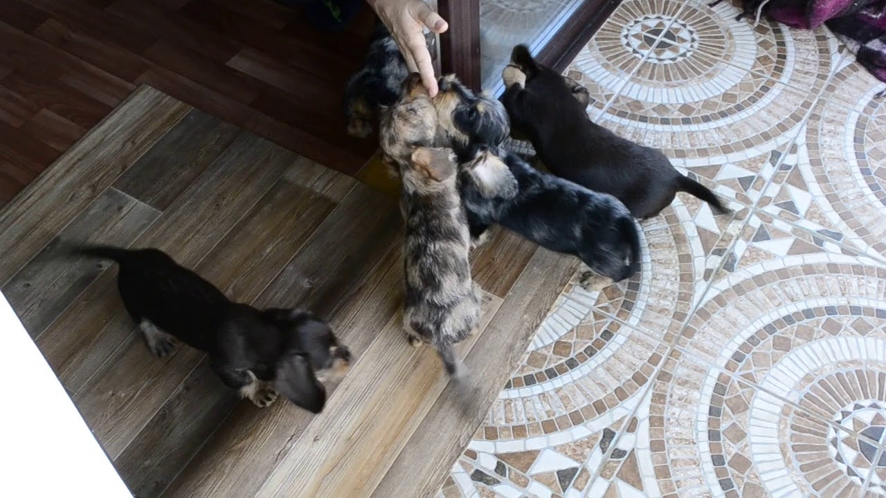 Wirehaired kaninchen/mini dapple dachshund\'s puppies - YouTube