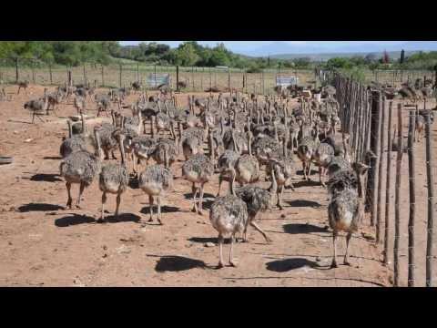 Baby Ostrich Hatching