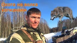 Охота на волка капканами.