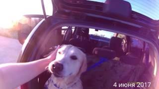 Мокрая уставшая довольная собака в багажнике малолитражки