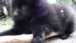 Harlem Shake Original Black Boo Pomeranian Puppy (zwergspitz Welpe) Edition Version