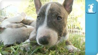 Sleepy Miniature Bull Terrier Puppies - Puppy Love