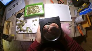 Как ускорить рост кактуса? Прививка сеянца кактуса.