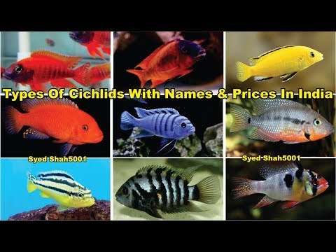 Types Of Cichlids Fish Popular Cichlids Variety