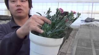 長く美しく花を楽しむためのお手入れの仕方をお教えします。 注:動画中...
