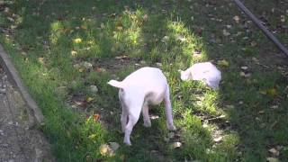 Jackrussel Terriers Playing In Yard  Ratting Dogs Hunt Training