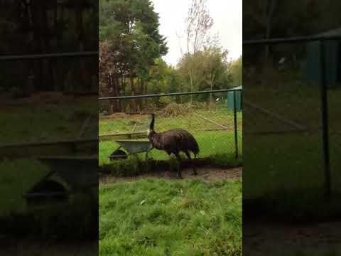 Afwijkend gedrag emoe