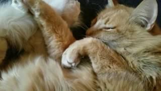 ペロリと舌出す茶猫の寝言、楽しい夢が目に浮かび
