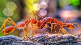 Interesting facts about WEAVER ANTS 🐜 | FHD 1080p