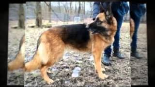 Xena - German Shepherd Available For Adoption.