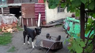Дозор большая собака на цепи играет и лает на колеса от тачки | Веселые животные приколы собаки коты