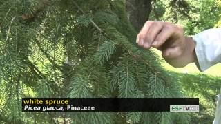 Trees with Don Leopold - white spruce