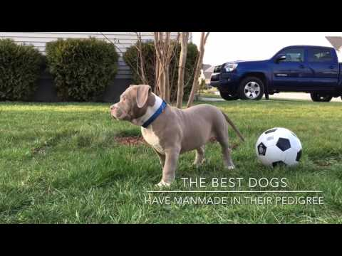 ManMade Kennels; Champagne Pitbull Puppies For Sale; Bred for Families!