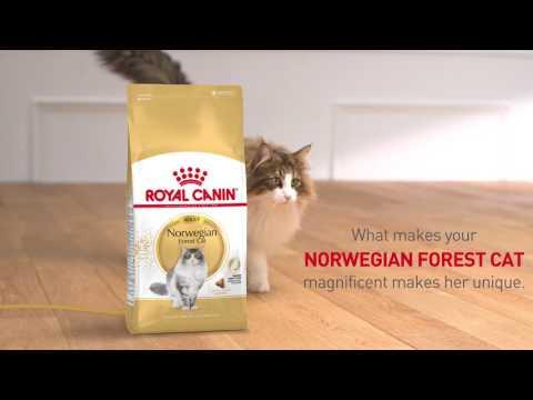 NORWEGIAN - Feline Breed Nutrition - Royal Canin