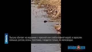 Плавающая на Витьбе лысуха привлекла внимание жителей Витебска