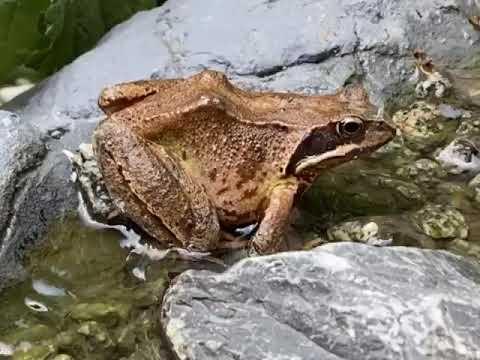 Frosch Aufblasen