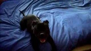 Staffordshire Bull Terrier E Il Letto - Faith - Il Gioco Più Gratificante...mov