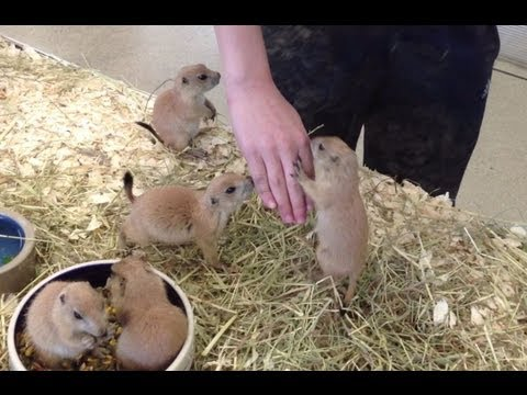Prairie Dogs Jumping Out of their Cage