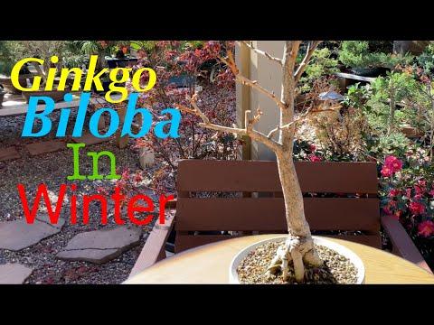 Avis Ginkgo Biloba - 15 pistes pour améliorer sa concentration et sa concentration ...