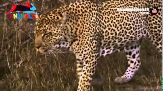 Леопард на охоте  Невероятный прыжок