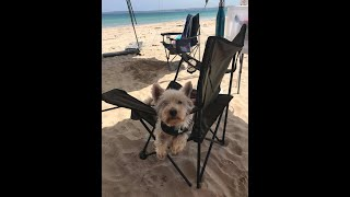 Dog on vacation | Max | West Highland Scottish Terrier