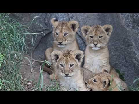 Four young lion cubs (part 2), Namiri Plains, Serengeti Tanzania - 021117