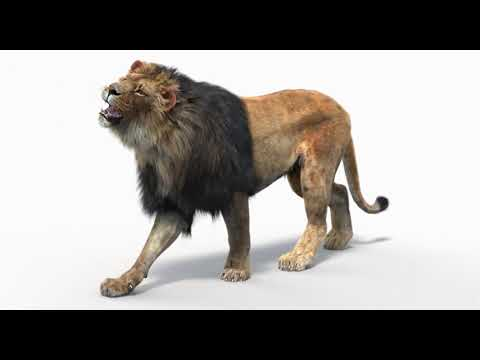 Lion 3d Model (Animated) (Fur) (3ds Max 2016 - V-ray)