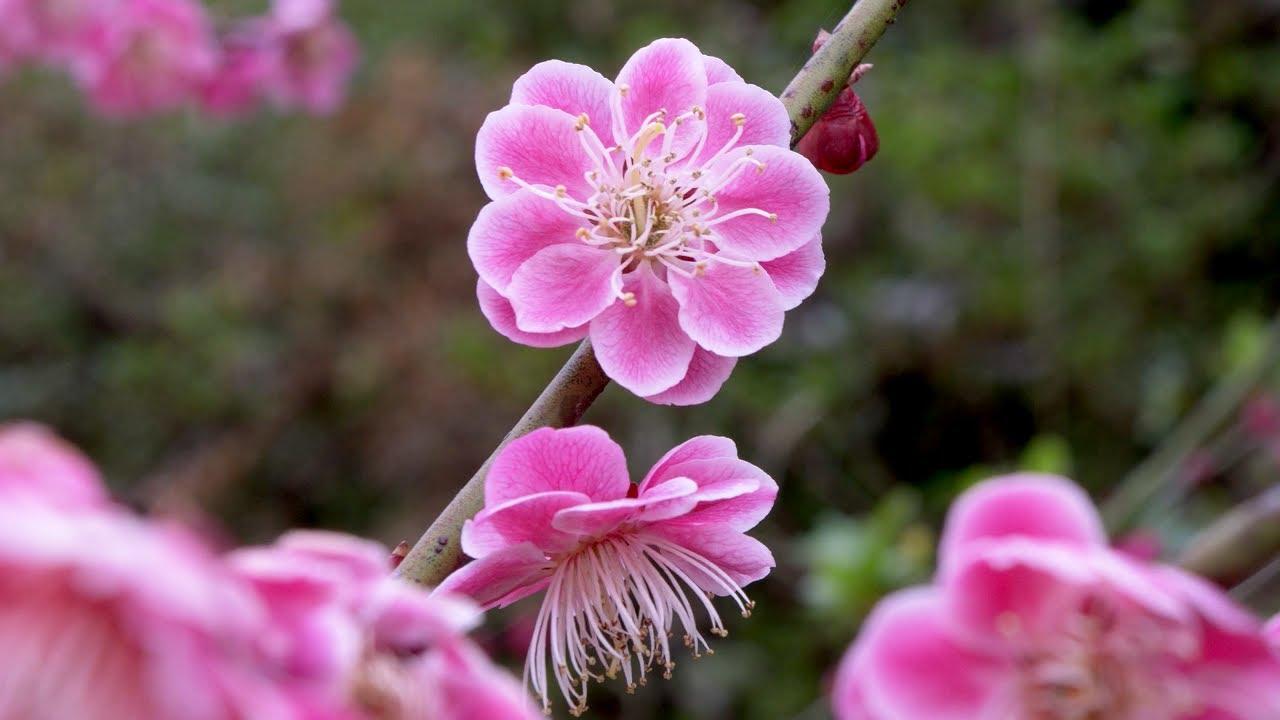 Japanese Plum Blossom - Beautiful Pink Flowers - YouTube