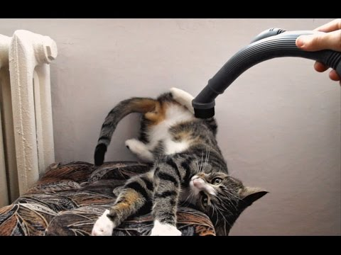 How To Vacuum Your Feisty Cat