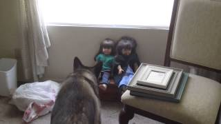 German Shepherd Husky Mix Afraid Of Dolls