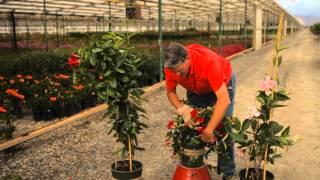 Video How to Trim a Mandevilla : Garden Savvy download MP3, 3GP, MP4, WEBM, AVI, FLV Juni 2018