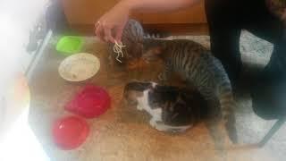 Коты -итальянцы