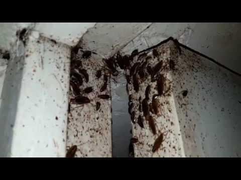 traitement cafard faite par sans nuisibles youtube. Black Bedroom Furniture Sets. Home Design Ideas
