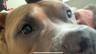 Pitbull Cuddles With Sick Owner | Cuddles Are The Best Medicine