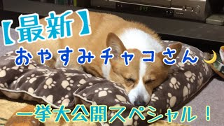 【最新】おやすみチャコ大公開!【コーギー】【寝顔】 thumbnail