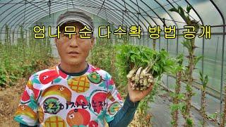 호준이장터농장 엄나무순 다수확 재배방법공개