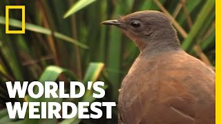 Bird Mimics Chainsaw, Car Alarm and More | World&#