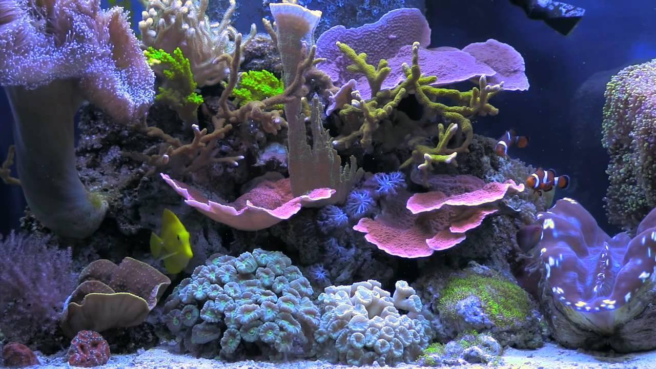 Bluscenes Scenic Aquarium Coral Reef Tank New Youtube