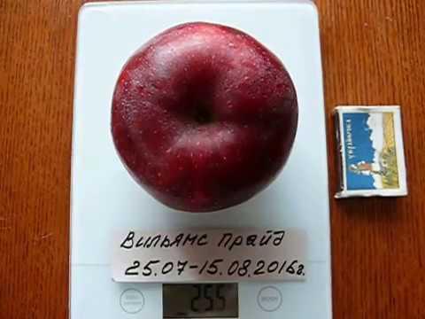 Дегустация яблока Вильямс Прайд (Williams Pride)(КООП-23)
