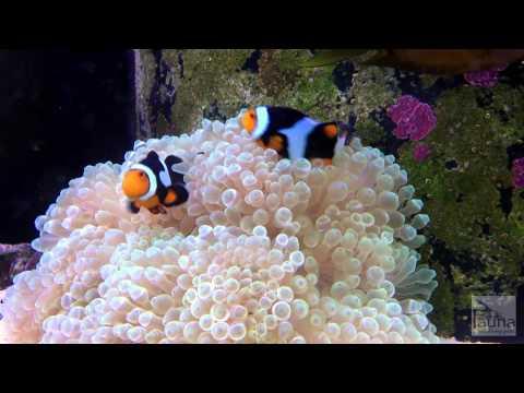 Onyx Percula Clownfish