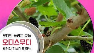 오디의 놀라운 효능/오디스무디 만들기/mulberry …