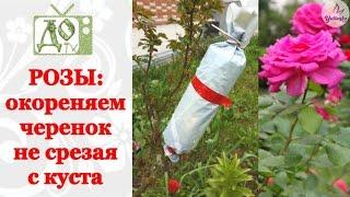РОЗЫ: окореняем черенок не срезая с куста. Размножаем РОЗЫ легко и просто!(Как размножить куст розы.Как окоренить ветку розы не срезая с куста. Воздушный способ окоренения розы. Если..., 2016-05-05T16:09:14.000Z)